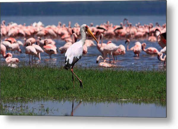 Yellow Billed Stork Metal Print