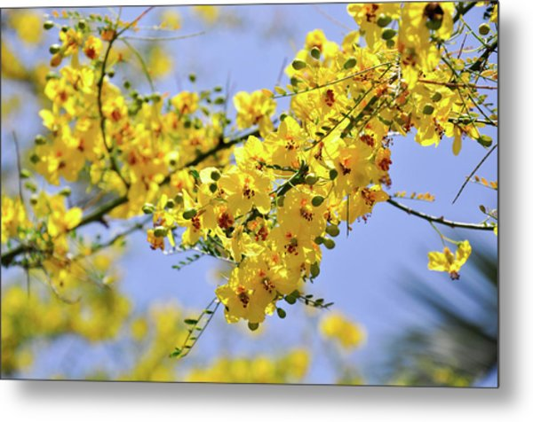 Yellow Blossoms Metal Print