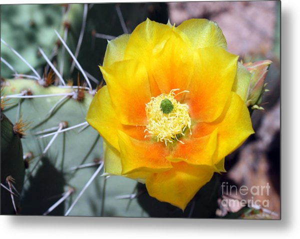 Yellow Cactus Flower Metal Print