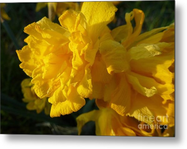 Yellow Daffodils Metal Print