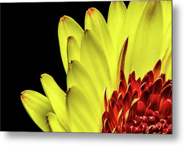 Yellow Daisy Peeking Metal Print