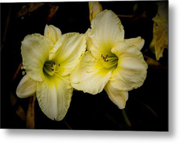 Yellow Day Lilies Metal Print