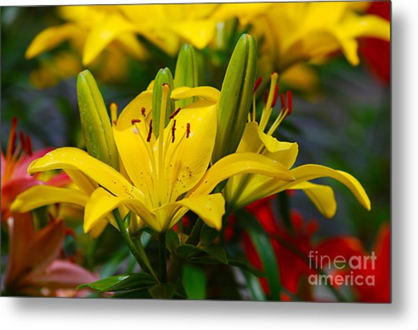 Yellow Day Lily 20120614_55a Metal Print