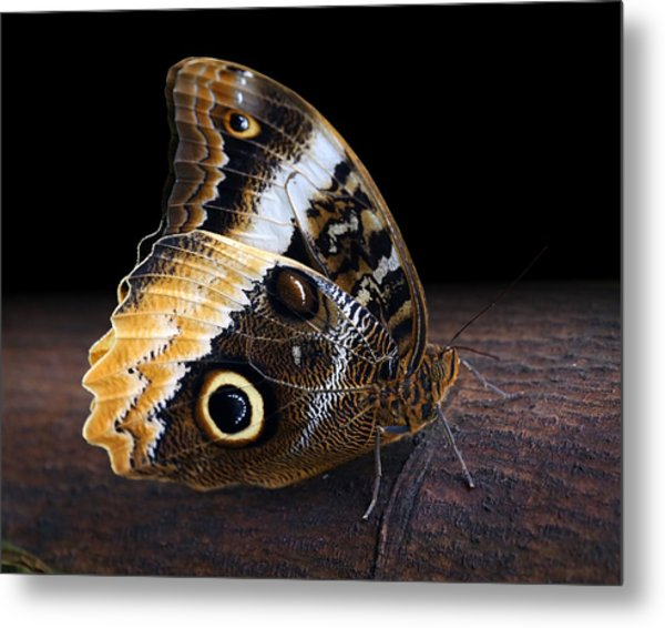 Yellow-edged Giant Owl Butterfly Metal Print