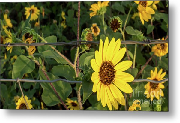 Yellow Flower Escaping From A Barb Wire Fence Metal Print