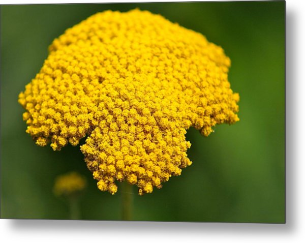 Yellow Flower Metal Print by Robert Joseph