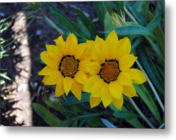 Gazania Rigens - Treasure Flower Metal Print