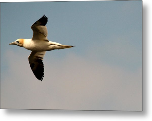Yellow Headed Gull In Flight Metal Print