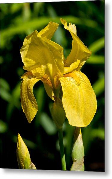 Yellow Iris Metal Print by Edward Myers