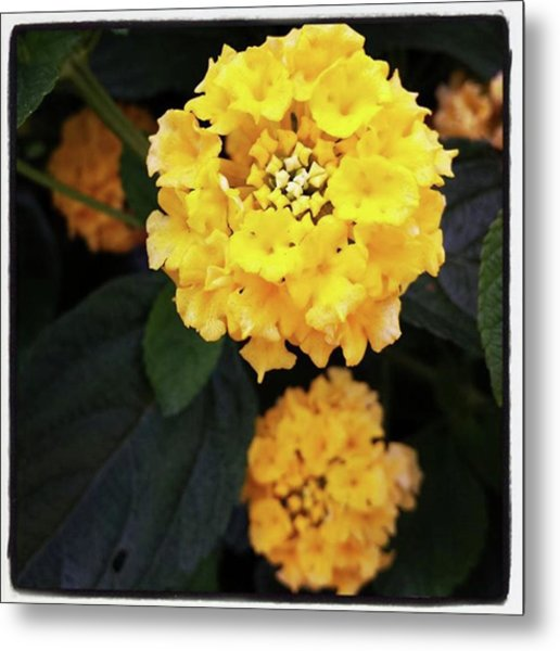 Metal Print featuring the photograph Yellow Lantanas Along The Scenic Drive by Mr Photojimsf