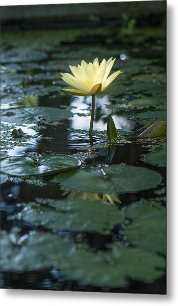 Yellow Lilly Tranquility Metal Print