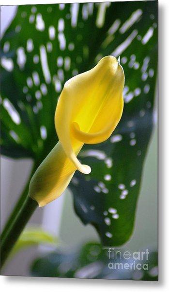 Yellow Mini Calla Lilies Metal Print