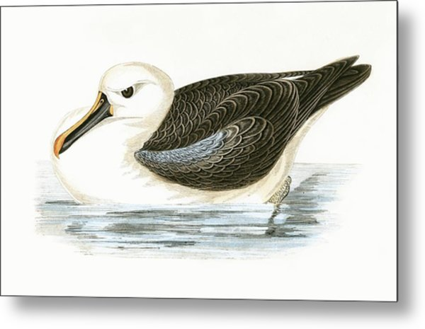 Yellow Nosed Albatross Metal Print