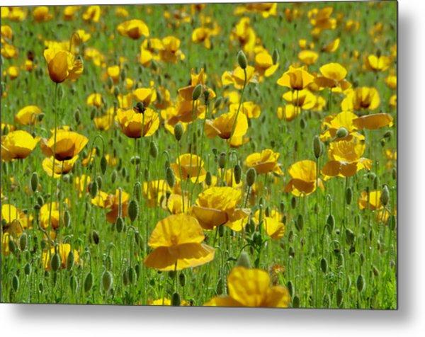 Yellow Poppy Field Metal Print
