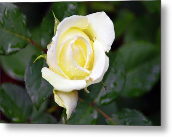 Yellow Rose 1 Metal Print