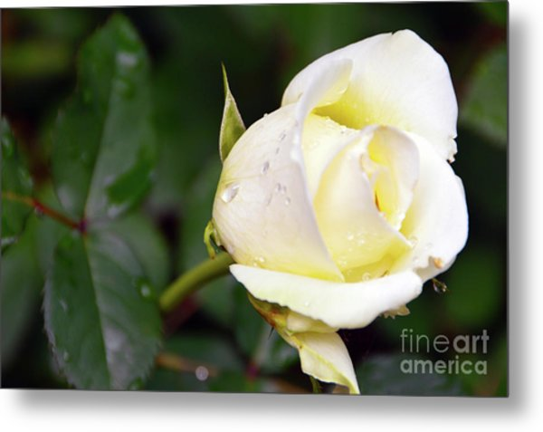 Yellow Rose 2 Metal Print