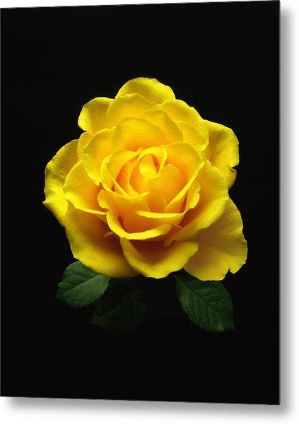 Yellow Rose 6 Metal Print