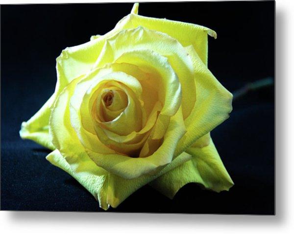 Yellow Rose-7 Metal Print