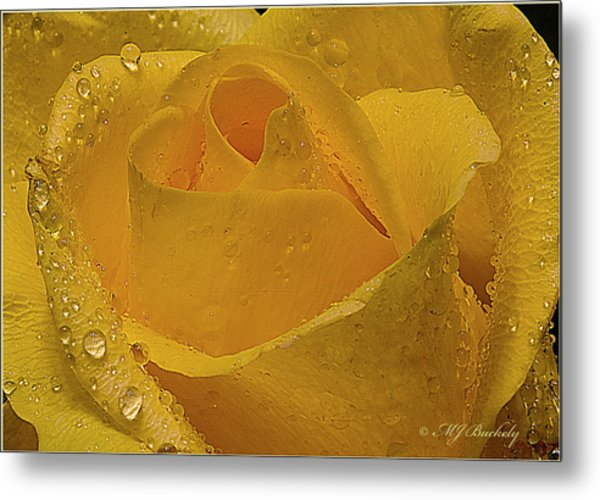 Yellow Rose And Dew Metal Print by Marti Buckely
