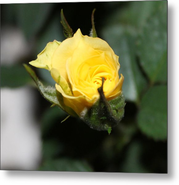 Yellow Rose Bud Metal Print by Evelyn Patrick