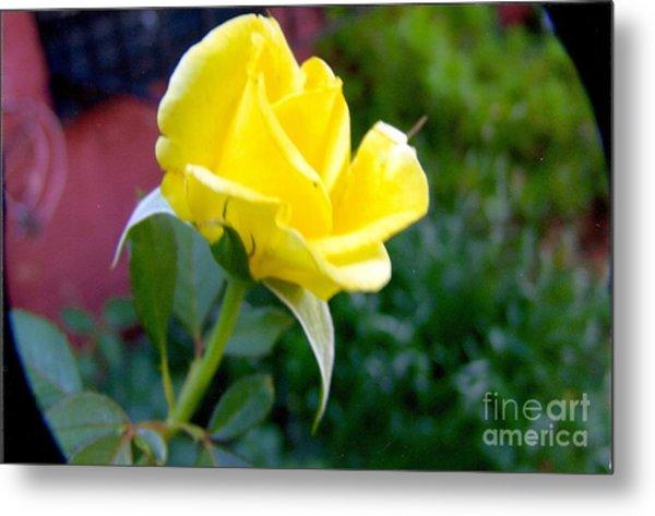 Yellow Rose Bud Metal Print by Rod Ismay