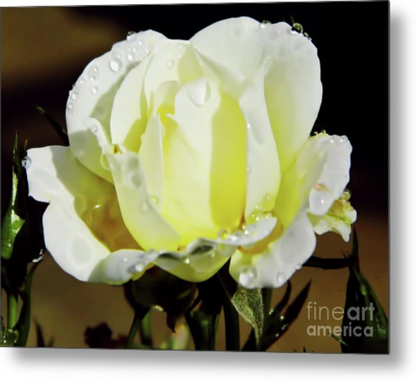 Yellow Rose Dew Drops Metal Print