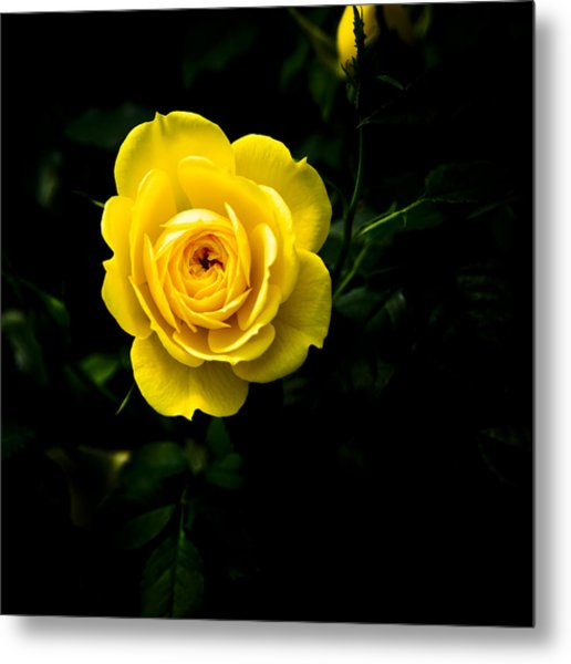 Yellow Rose Metal Print by John Ater