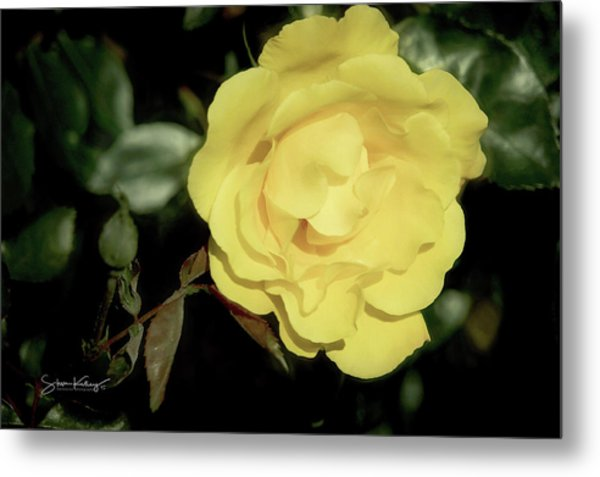 Yellow Rose Metal Print