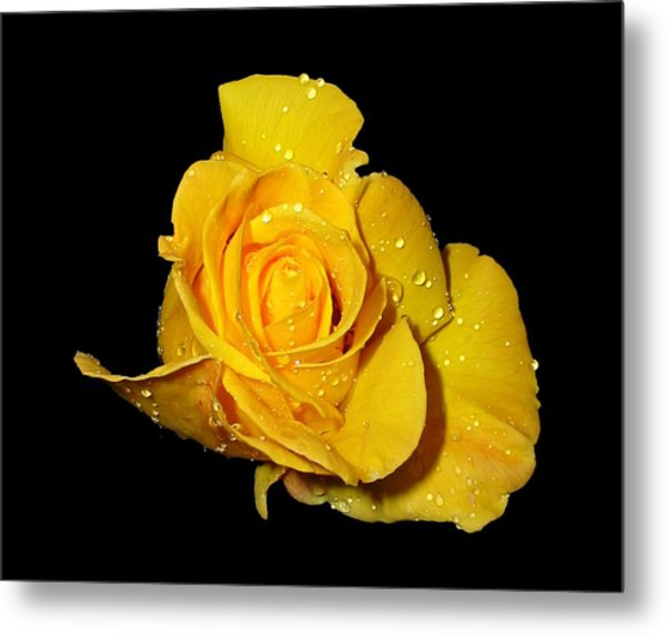Yellow Rose With Dew Drops Metal Print