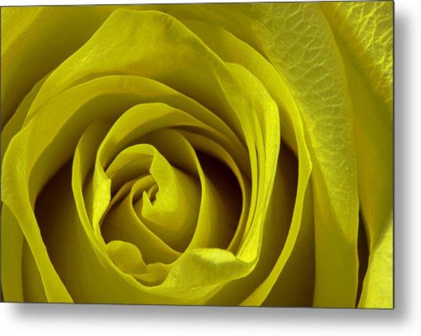 Yellow Rose Metal Print by Zev Steinhardt