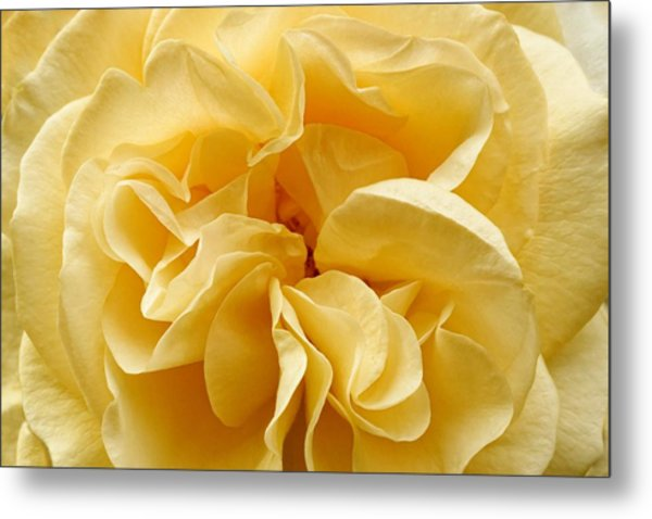 Yellow Ruffles - Rose Metal Print