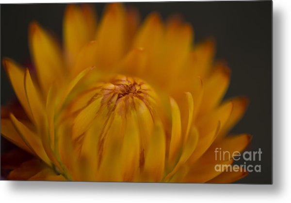 Yellow Strawflower Blossom Close-up Metal Print