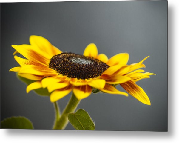 Yellow Sunflower Photograph Metal Print