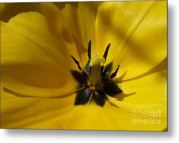 Yellow Tulip 1 Metal Print