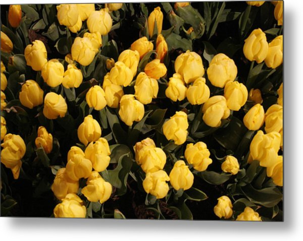 Yellow Tulips Metal Print by Jeff Porter