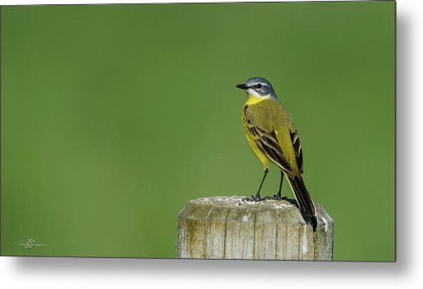 Yellow Wagtail Perching On The Roundpole Metal Print