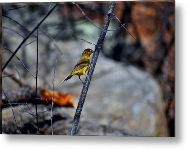 Yellow Warbler 2 Metal Print