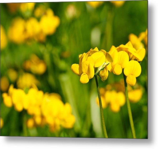 Yellow Wild Flowers Metal Print by Edward Myers