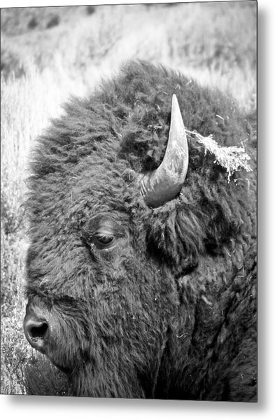 Yellowstone Buffalo Metal Print by Jonathan Hansen