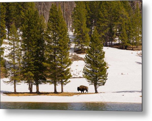 Yellowstone Buffalo Metal Print