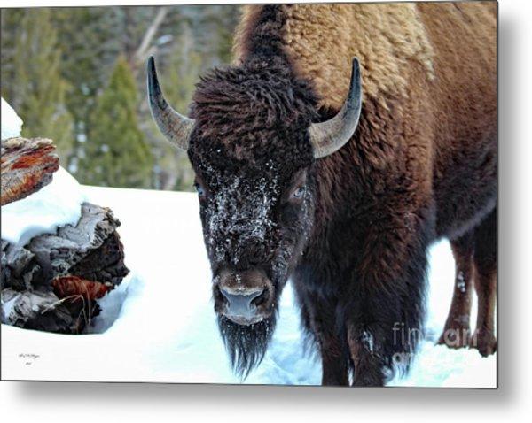Yellowstone Buffalo Stare-down Metal Print