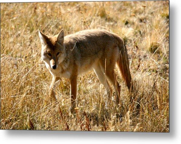 Yellowstone Cyote Metal Print by Dave Clark