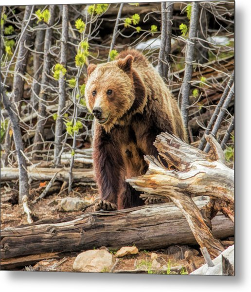 Metal Print featuring the painting Yellowstone Grizzly Bear by Christopher Arndt