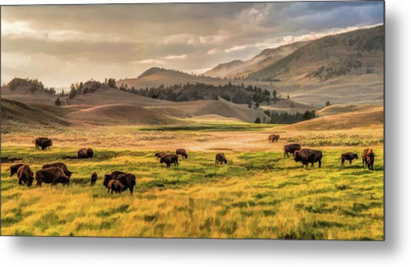 Yellowstone National Park Lamar Valley Bison Grazing Metal Print