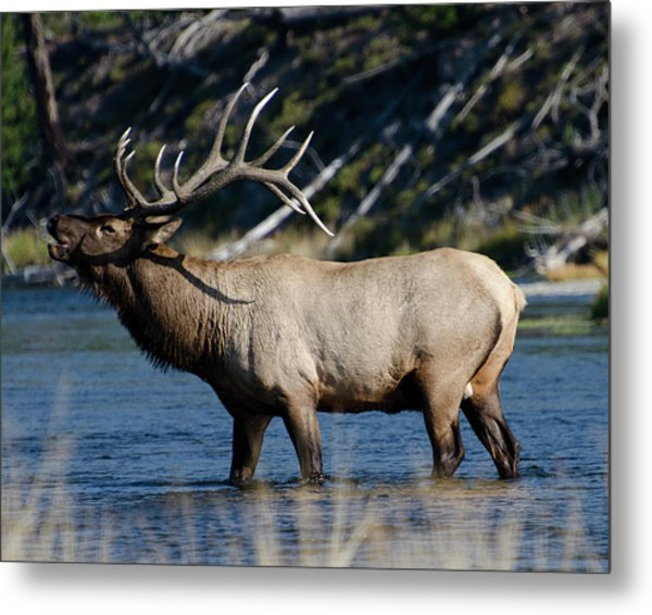 Yellowstone Park Elk Metal Print