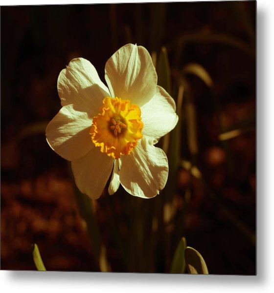 Yesteryear Daffodil Metal Print