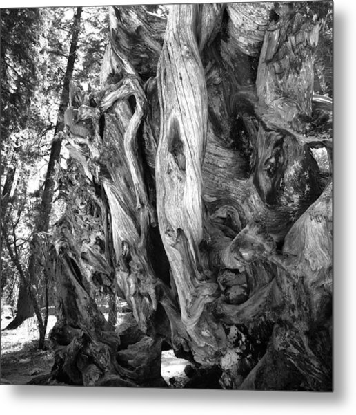 Metal Print featuring the photograph Yosemite Trees - Twisting by Dave Beckerman