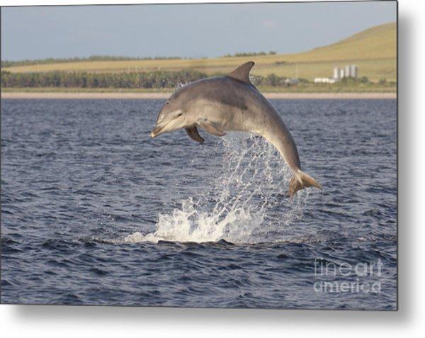 Young Bottlenose Dolphin - Scotland #13 Metal Print