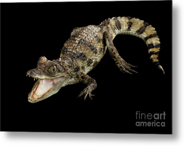 Young Cayman Crocodile, Reptile With Opened Mouth And Waved Tail Isolated On Black Background In Top Metal Print