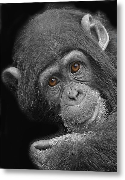 Young Chimpanzee Metal Print